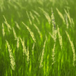 Stock Photo: Background of spikelets