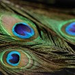 A beautiful peacock feather. — Stock Photo