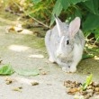Grey bunny — Stock Photo