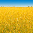 Rich harvest of wheat — Stock Photo