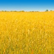 Stock Photo: Rich harvest of wheat