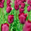Dark red spring tulips in a garden — Stock Photo