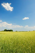 Yellow field of wheat and blue sky on the background — Stock Photo