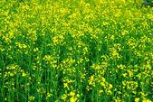 新鮮な緑と黄色のスプリング フィールド — ストック写真