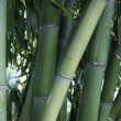 Royalty-Free Stock Photo: Bamboo
