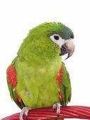 Miniature Noble Macaw 102 — Stock Photo