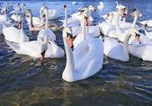 Flight of white swans — Stock Photo
