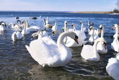 The flight of white swans — Stock Photo