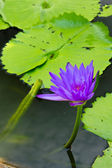The violet lotus — Stock Photo