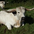 Stock Photo: Cadzow cattle