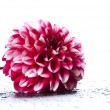 Posh motley dahlia — Stock Photo