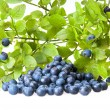 Bilberries and the branch of an bilberry bush — Stock Photo #3821021