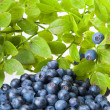 Bilberries and the branch of an bilberry bush — Stock Photo #3821030