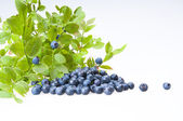 Bilberries and the branch of an bilberry bush — Stock Photo