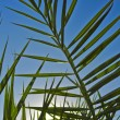 Branch of a date palm tree beside the Egyptian hotel — Foto de Stock