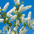 Blossoming bird cherry tree — Stock Photo