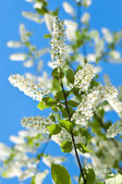 Blossoming bird cherry tree — Stok fotoğraf