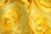 The Background from yellow roses in drop of water. — Stock Photo