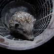 Hedgehog in bucket - Stock Photo
