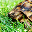 Stock Photo: Turtle on green grass