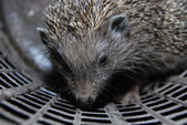 Hedgehog — Stock Photo