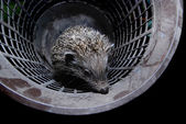 Hedgehog in bucket — Stock Photo
