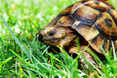 Turtle on green grass — Stock Photo