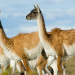 Guanacos in patagonia. — Stock Photo