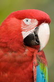 Colorful parrot close up. — Stock Photo