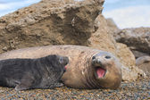 Mother and baby elephant seals. — Stock Photo