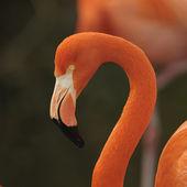Flamingo, portrait. — Stock Photo