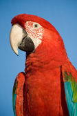 Colorful parrot, blue sky. — Stock Photo