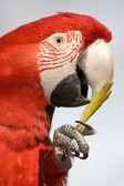 Renkli bir papağan yeme yakın çekim. — Stok fotoğraf