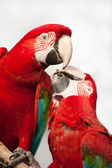 Two colorful parrots eating. — Stock Photo