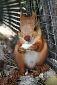 Squirrel eating a bread — Stock Photo