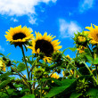 Royalty-Free Stock Photo: Sunflowers with blue sky and white clouds