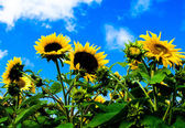 Sunflowers with blue sky and white clouds — Stock Photo