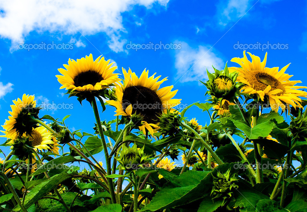 Sunflowers with blue sky and white clouds  Stock Photo #3789880