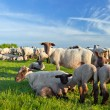 A summer landscape and herd sheep in the netherlands — Stock Photo