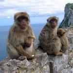 Family of Barbary monkeys, in the Gibraltar Rock — Stock Photo