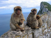 Family of Barbary monkeys, in the Gibraltar Rock — Stock Photo