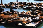 Lions de mer au pier 39, san francisco — Photo