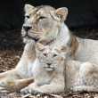 Stock Photo: Lions, mother with pup
