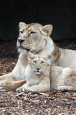 Lions, mother with pup — Stock Photo