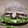 Stock Photo: Hungry turtle