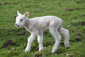 Lamb — Stock Photo