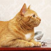 Red cat online — Stock Photo