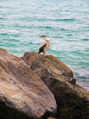Large shearwater perched on rocks. — Stock Photo