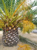 Palm tree with fruits — Stock Photo