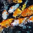 Koi Fish — Stock Photo #3836421